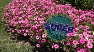 supertunia vista bubblegum petunia is