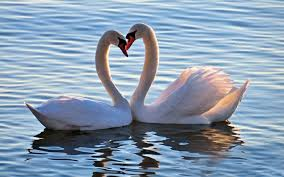 s birds swans swan love
