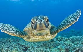 sea turtle wallpapers hq sea