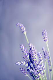 lavender wallpapers top free lavender