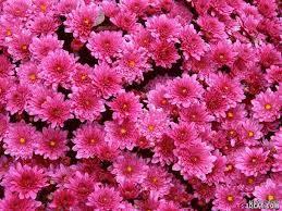ورد جمييل باللون الزهري صور ورود وردية ورود متنوعة جميلة باللون