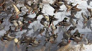 duck hunting wallpapers for desktop