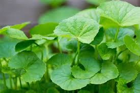 Image result for centella asiatica madagascar plant