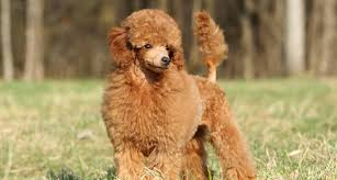 toy poodle puppies toy
