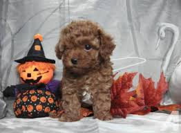 available toy poodle puppies ready for