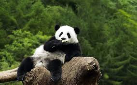 panda bear wallpapers hd desktop and
