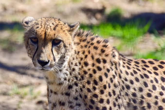 """Image result for cheetah"""""""