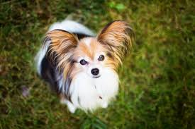 Papillon Adoption and Rescue