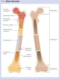 skeletal system 1 the anatomy and