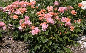 shrubs landscaping services uae shrubs