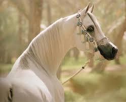 خيول عربية اصيلة الخيل العربى اجمل خيول العالم صباح الورد