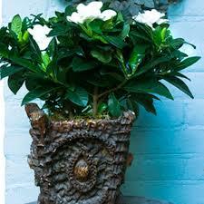 gardenia indoors gardenia jasminoides