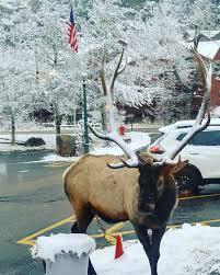 Estes Park elk in the snow : Colorado