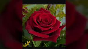 اجمل الورود الحمراء Youtube