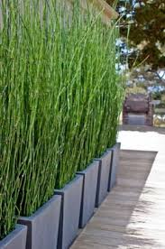 tall narrow privacy screening plants