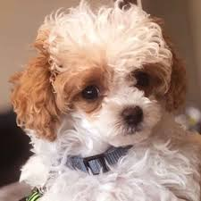 toy poodle puppies teacup