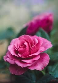 وردة صور