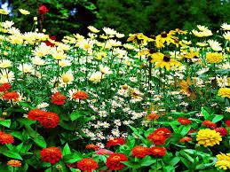 sun flower garden hd pictures