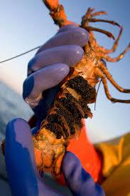 Nova Scotia lobster is booming, but it ...