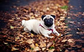 s dogs pets pug wallpapers hd