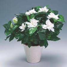 gardenia jasminoides or cape jasmine
