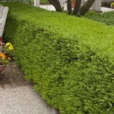 Wintergreen Boxwood Shrubs Plantaddicts Com