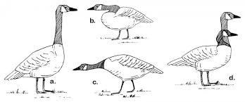 Canada Geese Washington Department Of Fish Wildlife