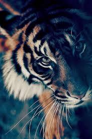 bengal tiger face closeup iphone 6 plus