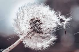 big dandelion against sky part of the