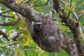 Three-toed sloth - Bradypodidae - Luiaard | Panama, rondreis… | Flickr