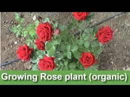 growing rose plant organic my new