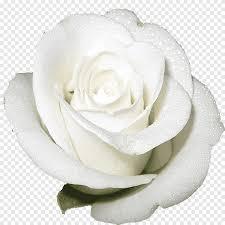 الصورة عن قرب من الوردة البيضاء الورود المقطوفة الوردة البيضاء