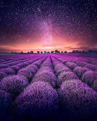 purple petaled flowers lavender field