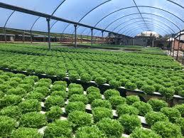 Solução Nutritiva Hidroponia Folhosas - 5Mil lts OURO VERDE ...