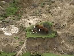 Cows stranded by New Zealand quake live ...