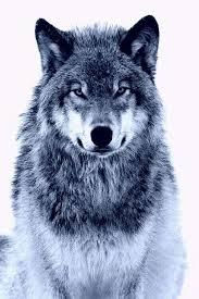 ice wolf wallpaper 500x750 px 84 87