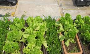 vegetable garden on the rooftop