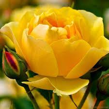 ورود صفراء صافية Yellow Rose صور ورد وزهور Rose Flower Images