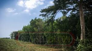 Mahogany Trees For Sale Philippines Find New And Used Mahogany Trees For Sale On Buyandsellph