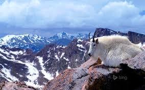mounn goat on mount evans near