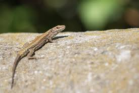 How Do Lizards Climb Up Walls And Across Ceilings