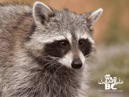 Raccoon Wildsafebc
