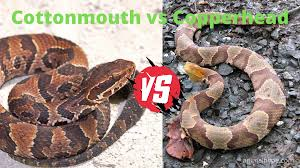 cottonmouth vs copperhead snake what