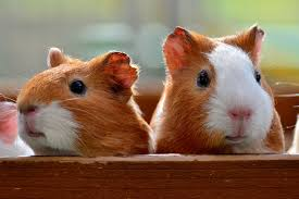 guinea pigs on box during daytime
