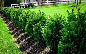 Green Mountain Boxwood Shrubs For Sale The Tree Center