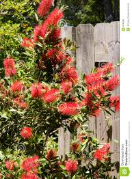 1 869 Bottle Brush Flowers Photos Free Royalty Free Stock Photos From Dreamstime