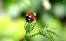 ladybug wallpaper wallpapers