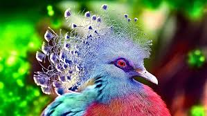 hd wallpaper victoria crowned pigeon