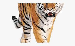 tiger clipart wild s free