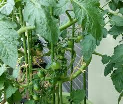 ミニトマトを二本立てにしてラセン状に誘引中 | 一畳農場 - 楽天ブログ